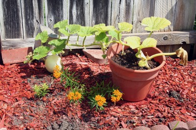 Pumpkin Plant and Small Pumpkin