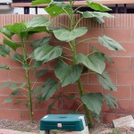 Sunflowers Growing Tall
