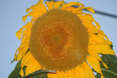 Sunflower All Big and Fat