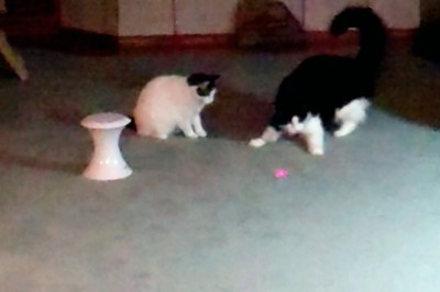 The cats playing laser tag